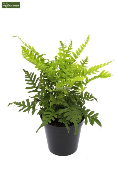 Polypodium vulgare 2 Ltr pot