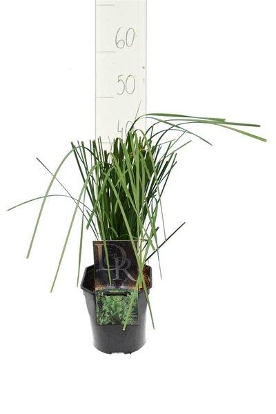 Deschampsia cespitosa Goldtau - totale hoogte 40-50 cm - pot 2 ltr