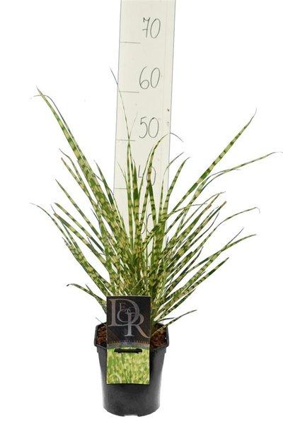 Miscanthus sinensis Gold Breeze - Gesamthöhe 55-65 cm - Topf 2 ltr