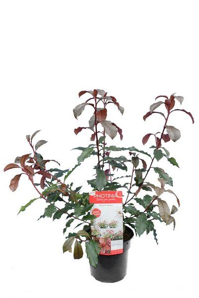Photinia Magical Volcano - totale hoogte 60-80 cm - pot 3 ltr