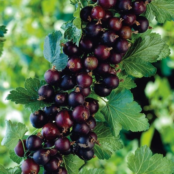 Ribes nidigrolaria Josta - pot 2 ltr