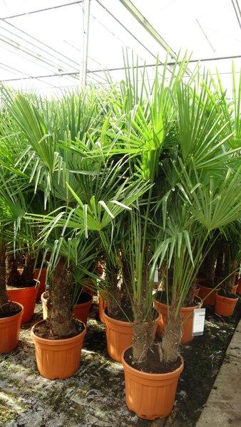 Trachycarpus fortunei Multitrunk - totale hoogte 140-160 cm - pot Ø 50 cm - 45 ltr [pallet]