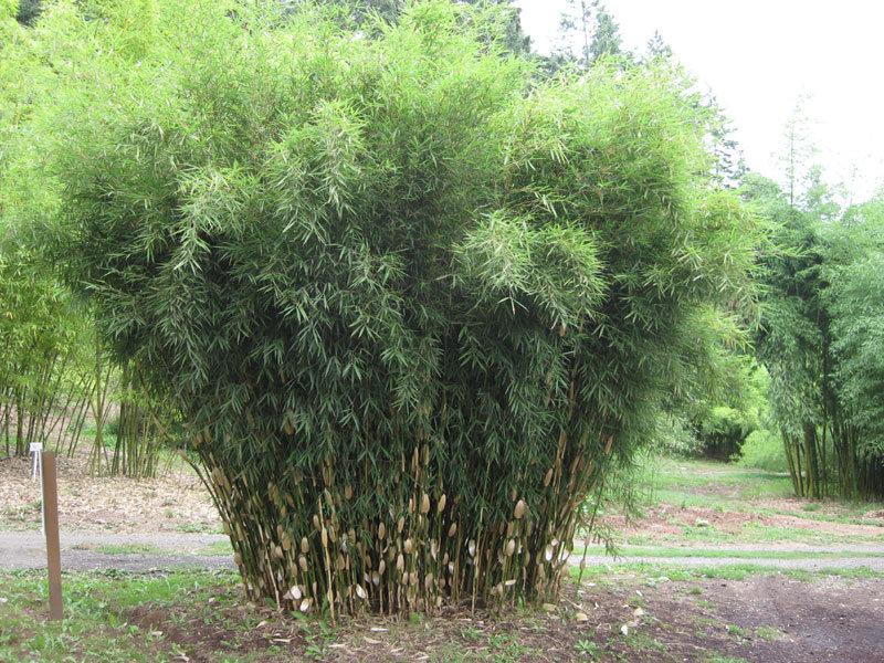 Fargesia robusta Wolong - totale hoogte 60+ cm - pot 5 ltr