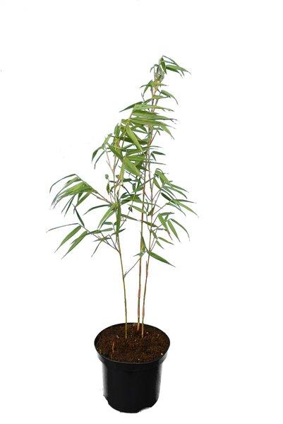 Fargesia scabrida - hauteur totale 80+ cm - pot 2 ltr