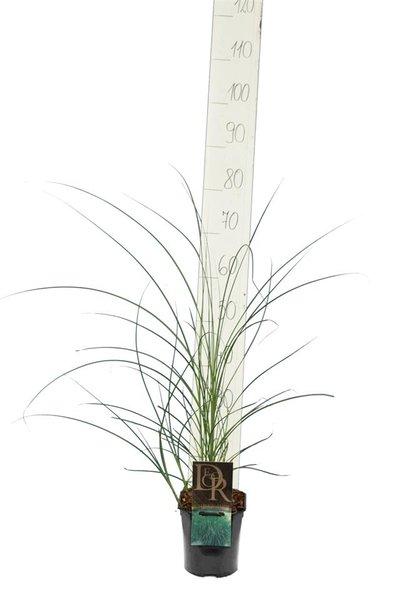 Miscanthus sinensis Gracillimus - pot 2 ltr