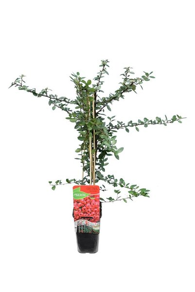 Pyracantha coccinea Red Column - totale hoogte 70-90 cm - pot 2 ltr