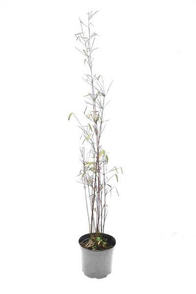 Fargesia jiuzhaigou - totale hoogte 40-60 cm - pot 1 ltr