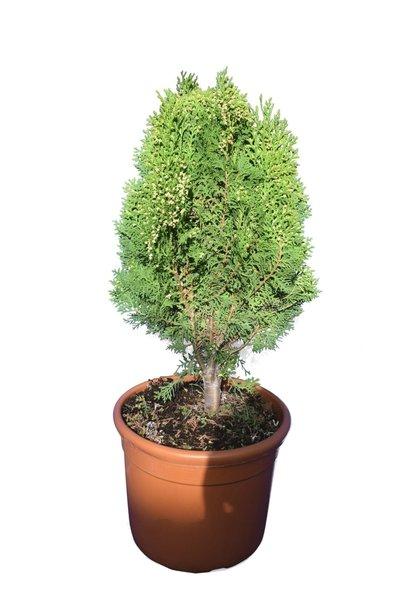 Thuja orientalis Aurea Nana - totale hoogte 60-80 cm - pot Ø 32 cm