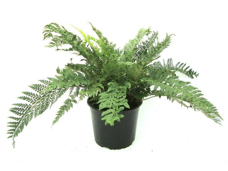 Polystichum aculeatum - pot 1,7 ltr