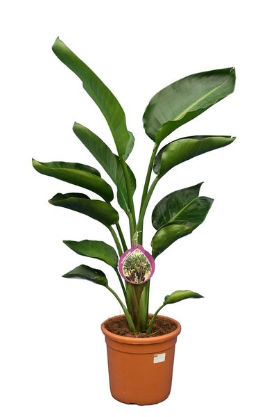 Strelitzia nicolai - totale hoogte 80-100 cm - pot Ø 24 cm - 2 planten per pot