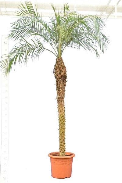 Phoenix roebelenii - stam 180-200 cm - totale hoogte 250+ cm - pot Ø 45 cm [pallet]