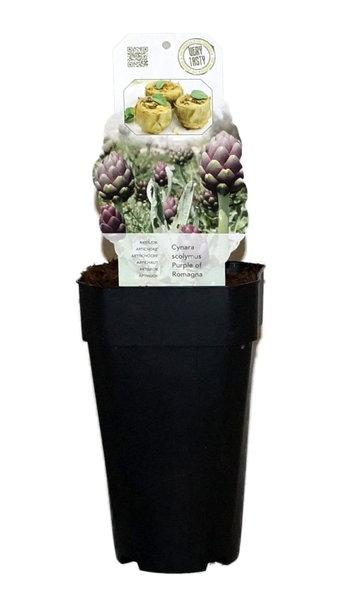 Cynara scolymus Purple of Romagna - pot 2 ltr