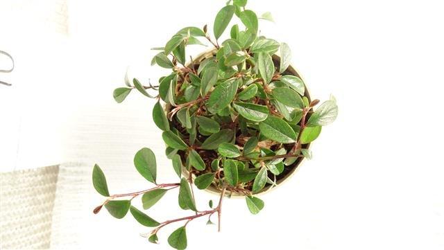 Cotoneaster dammeri Radicans - pot Ø 11 cm