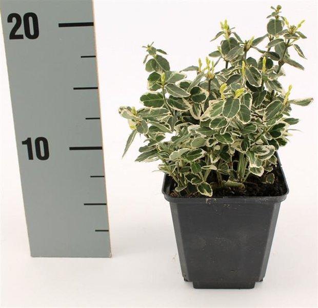 Euonymus fortunei Emerald Gaiety - pot 0,5 ltr