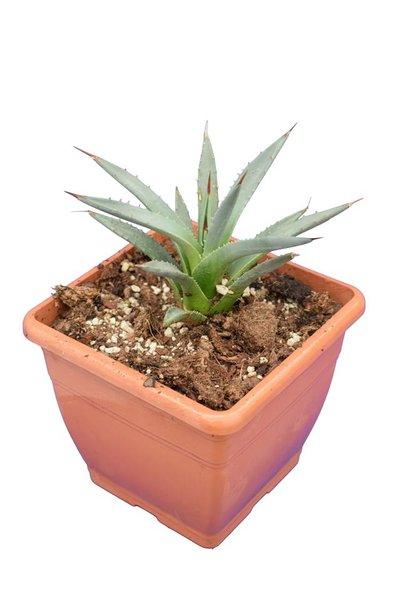 Agave utahensis - pot 14x14 cm