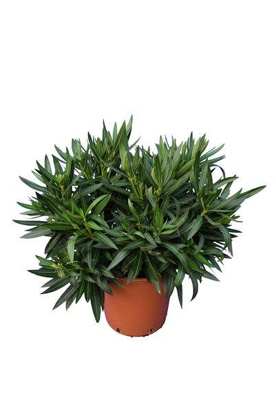 Nerium oleander licht roze - totale hoogte 70-90 cm - pot Ø 21 cm