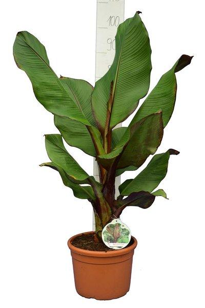 Ensete maurelli - pot Ø 26 cm