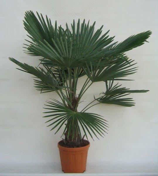 Trachycarpus fortunei - stam 30-40 cm - totale hoogte 130-150 cm - pot Ø 31 cm