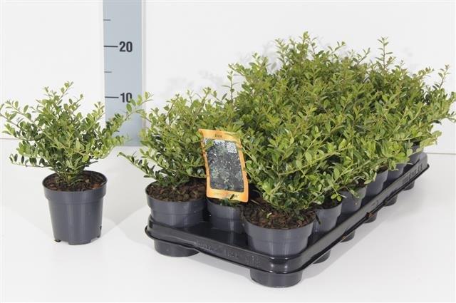 Ilex crenata Stokes - totale hoogte 20-30 cm - pot 0,5 Ltr.
