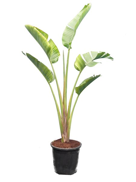 Strelitzia augusta - totale hoogte 180+ cm - pot Ø 38 cm [pallet]