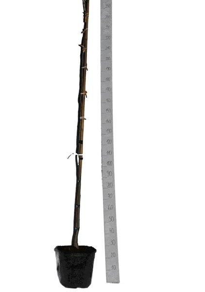 Albizia julibrissin Ombrella - totale hoogte 180+ cm - pot Ø 33 cm [pallet]