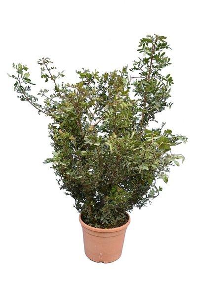Pistacia lentiscus - totale hoogte 90-110 cm - pot Ø 28 cm