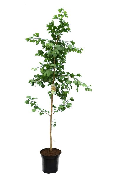 Ginkgo biloba - totale hoogte 140+ cm - pot 5 ltr