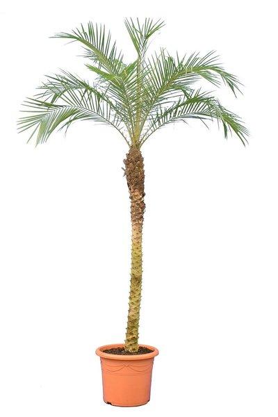 Phoenix roebelenii - stam 120-140 cm - totale hoogte 200+ cm - pot Ø 45 cm [pallet]