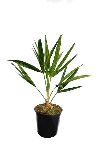Trachycarpus fortunei - Gesamthöhe 40-60 cm - Topf Ø 15 cm