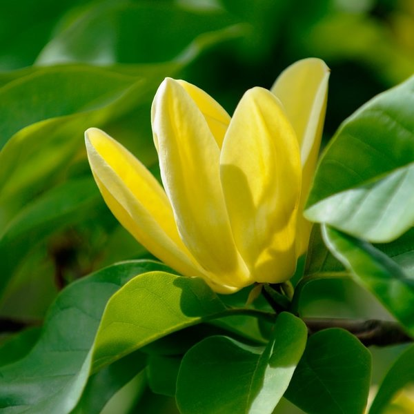 Magnolia × brooklynensis Yellow Bird - totale hoogte 100-120 cm - pot Ø 19 cm