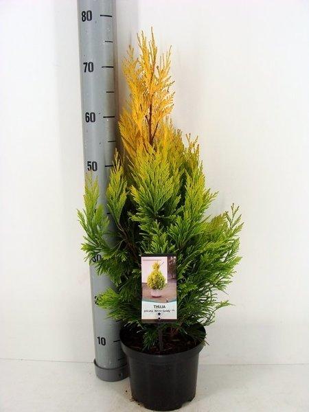 Thuja Plicata '4ever Goldy' - totale hoogte 60-70 cm - pot 3 Ltr