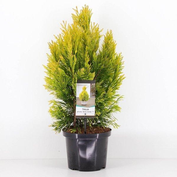 Thuja Plicata '4ever Goldy' - totale hoogte 80-100 cm - pot 5 ltr