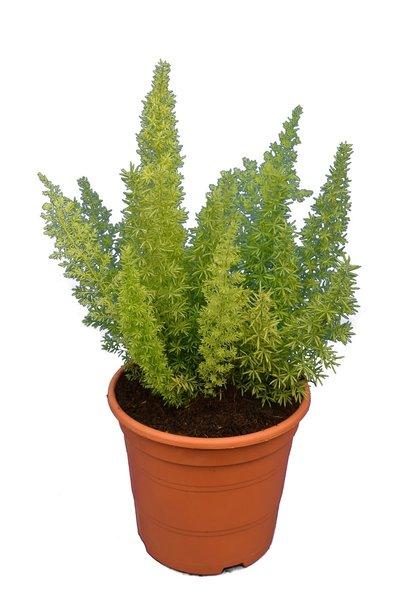 Asparagus meyeri - Topf 17 cm