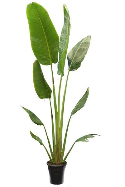 Ravenala madagascariensis - Gesamthöhe 300+ cm - Topf Ø 40 cm [Palette]