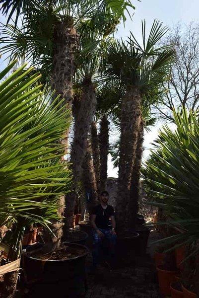 Trachycarpus fortunei - stam 300-350 cm [pallet]