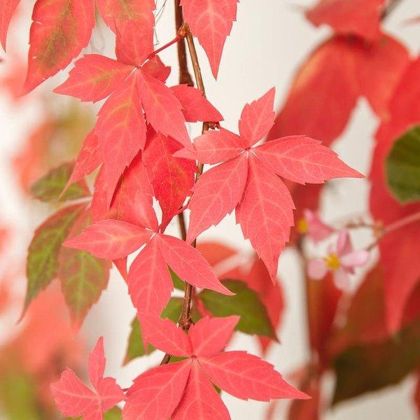 Parthenocissus quinquefolia - pot 18 cm