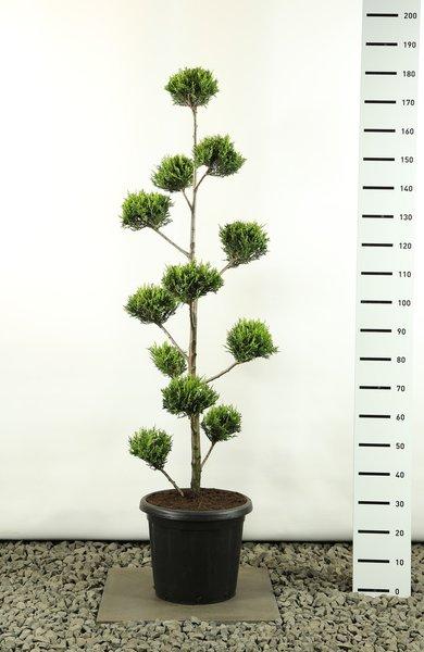 Cupressocyparis leylandii sp. Castlewellan Gold Multibol - totale hoogte 125-150 cm - pot 20 ltr