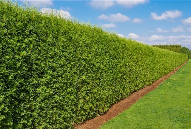 Thuja occidentalis Brabant (POTPLANT) - totale hoogte 180+ cm - pot 15 ltr [pallet]