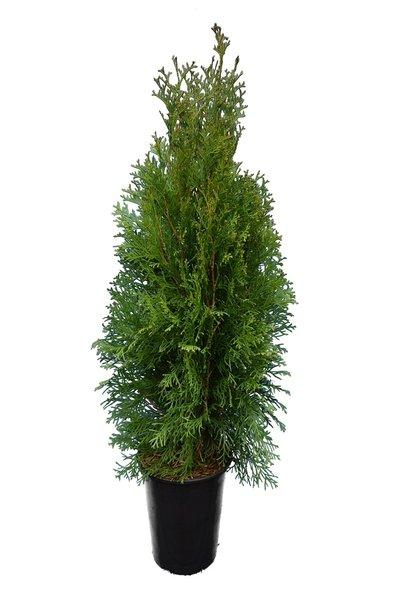 Thuja occidentalis Brabant (POTPLANT) - totale hoogte 80-100 cm - pot 3 ltr