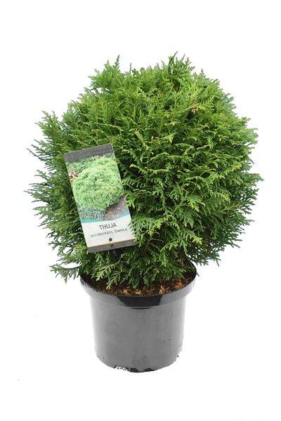Thuja occidentalis Danica - totale hoogte 40-50 cm - pot 5 ltr