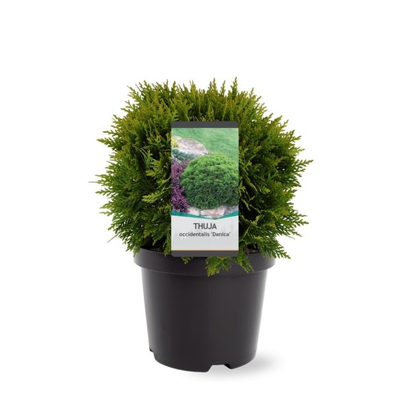 Thuja occidentalis Danica - totale hoogte 30-40 cm - pot 3 ltr