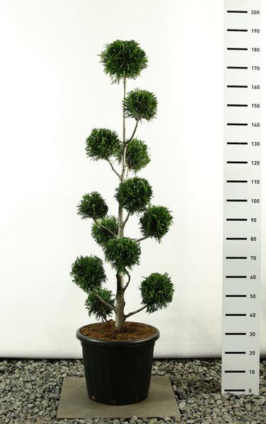 Thuja plicata Martin Multibol - totale hoogte 170-200 cm