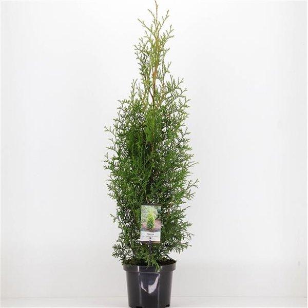 Thuja King of brabant - totale hoogte 110-130 cm - pot 3 ltr