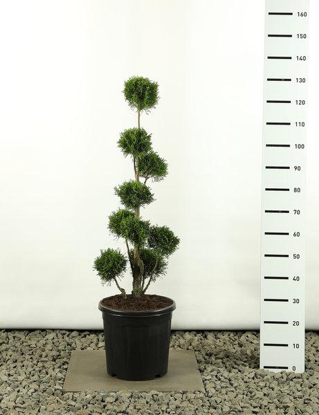 Thuja occidentalis Golden Smaragd Multibol - totale hoogte 80-100 cm