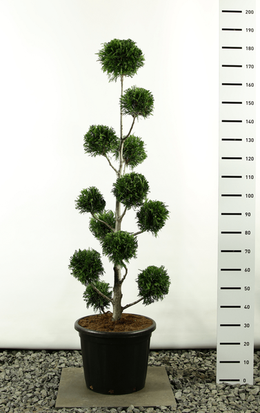 Thuja plicata Martin Multibol - totale hoogte 150-170 cm [PALLET]