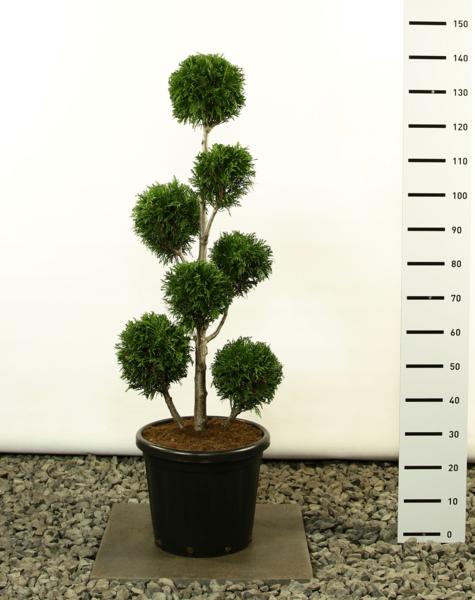 Thuja plicata Martin Multibol - totale hoogte 125-150 cm - pot Ø 36 cm