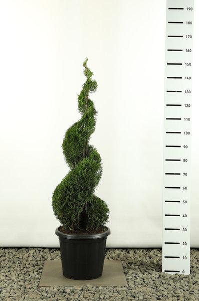 Thuja occidentalis Smaragd Spiraal - totale hoogte 125-150 cm - pot 20 ltr