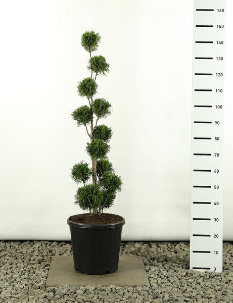Thuja occidentalis Golden Smaragd Multibol - totale hoogte 125-150 cm - pot 20 ltr