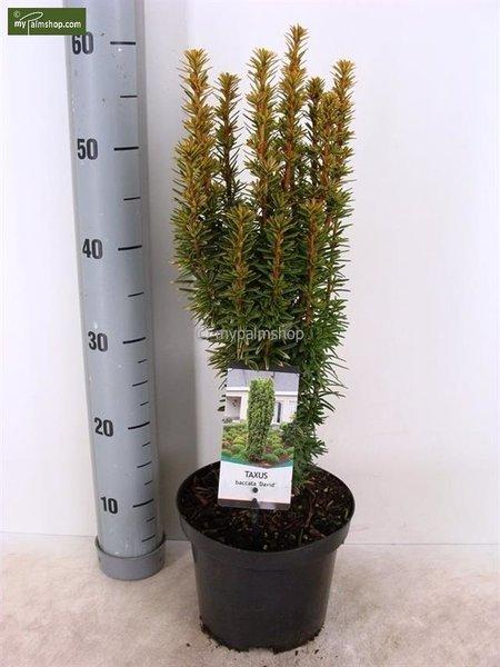 Taxus baccata David - totale hoogte 60-70 cm - pot 3 ltr