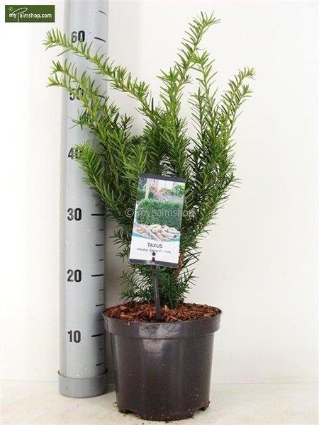 Taxus media Densiformis - totale hoogte 30-40 cm - pot Ø 19 cm